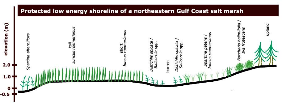 florida wetlands gulf coast salt marshes Salt Marsh Mammals cross section of a gulf coast salt marsh click to enlarge